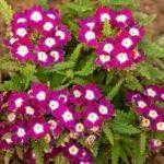 flores de verbena