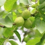 fruto nogal blanco
