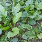 hojas de llantén