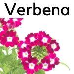 la verbena planta medicinal