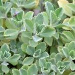 boldo planta medicinal