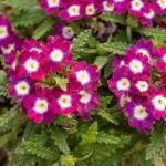 planta verbena