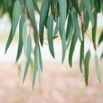 propiedades del eucalipto