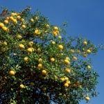 planta medicinal cidron